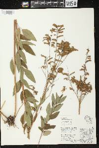 Image of Desmodium