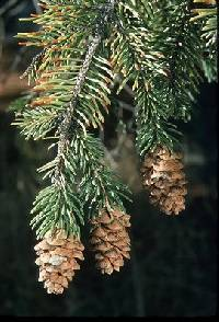 Image of Picea