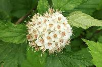 Image of Physocarpus intermedius