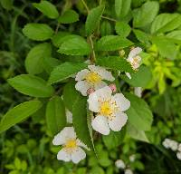 Image of Rosa multiflora