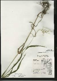 Image of Elymus hystrix var. bigeloviana