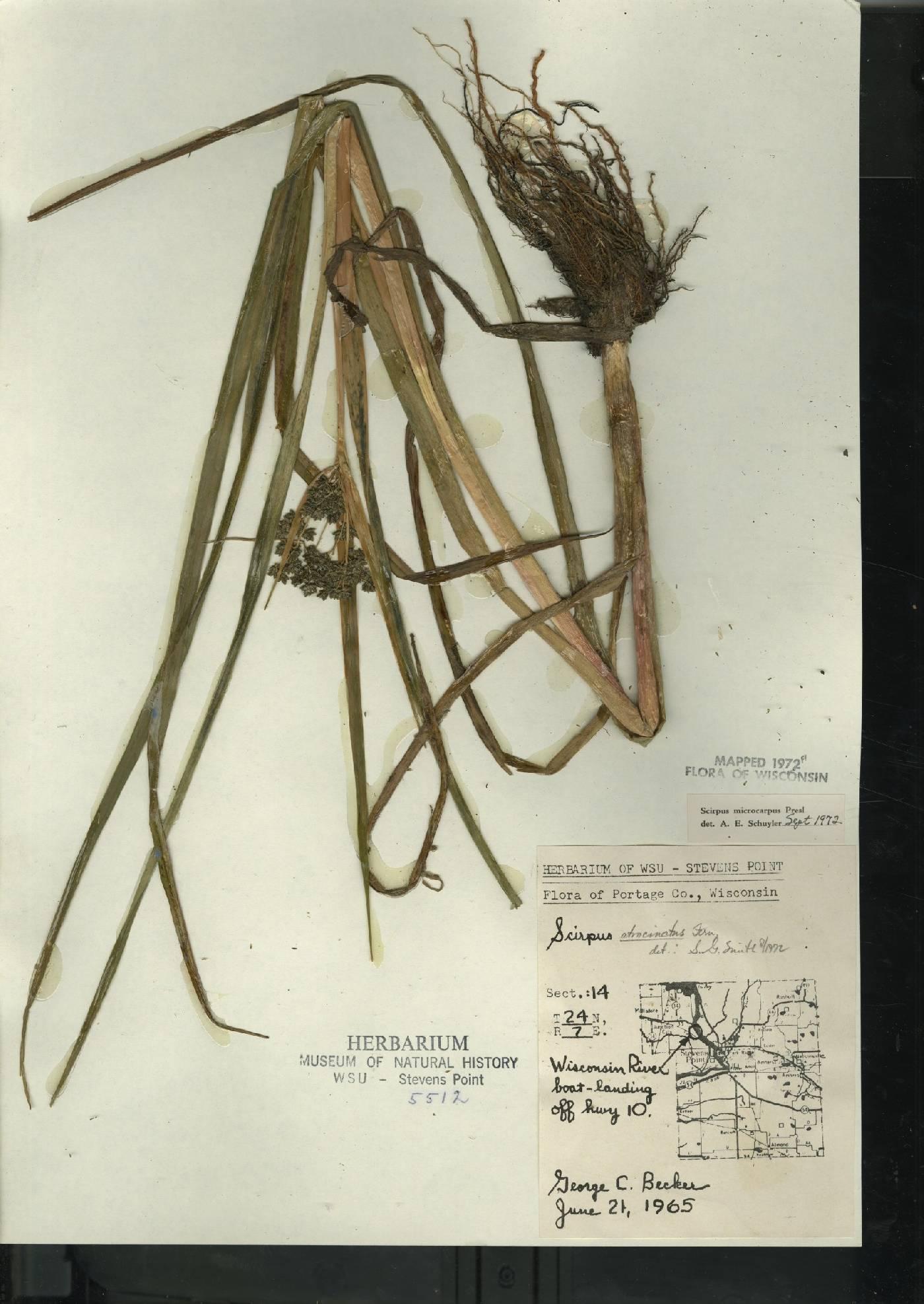 Scirpus atrocinctus image