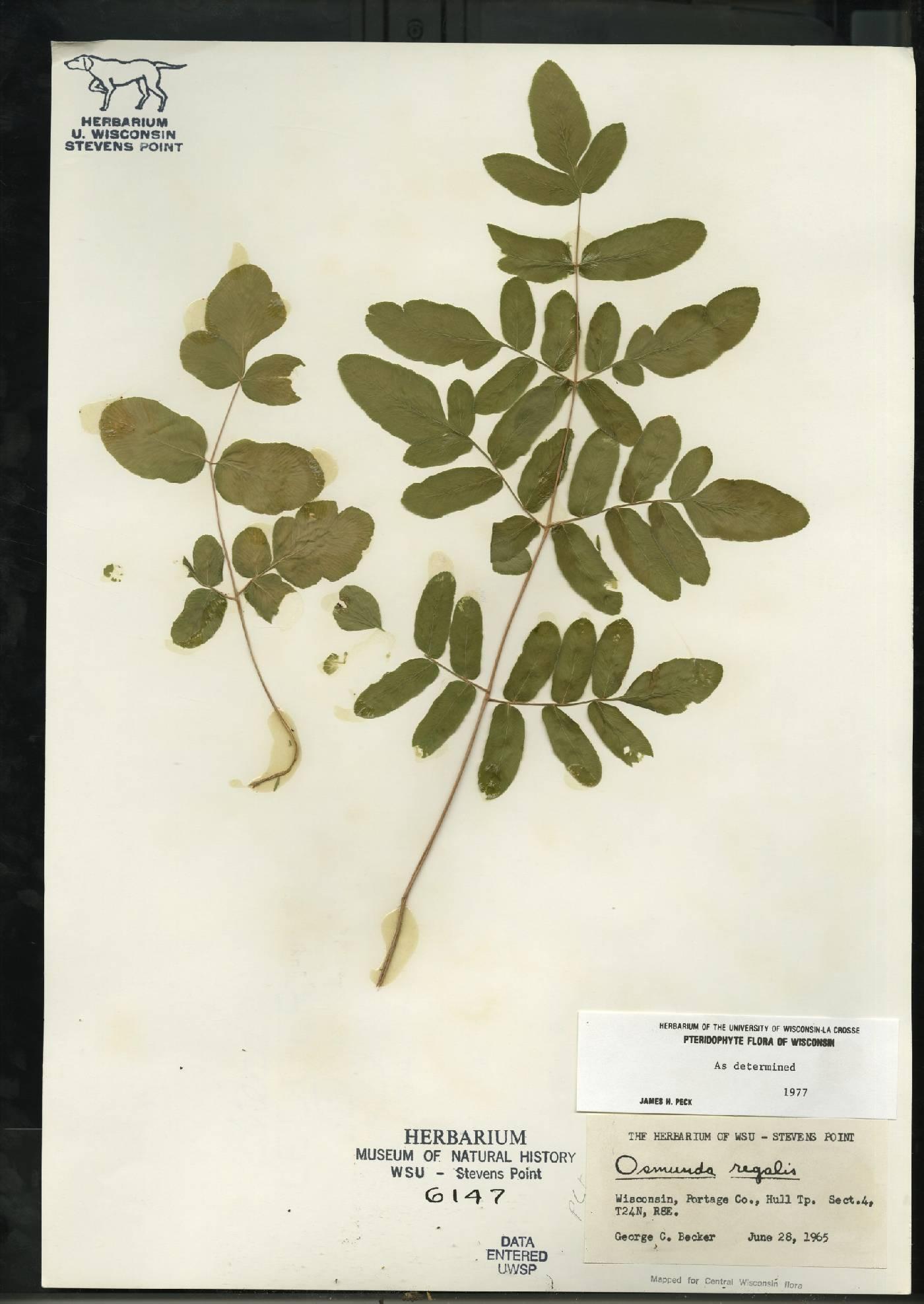 Osmunda regalis var. spectabilis image