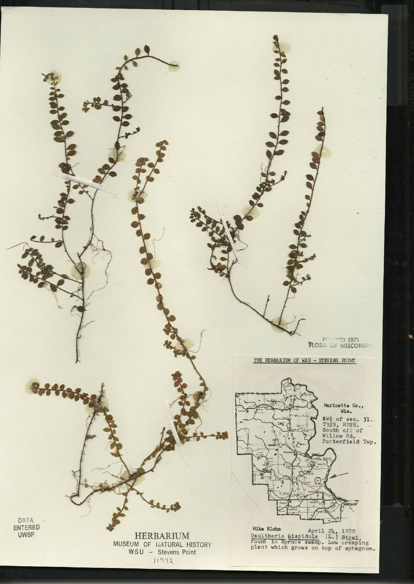 Gaultheria hispidula image