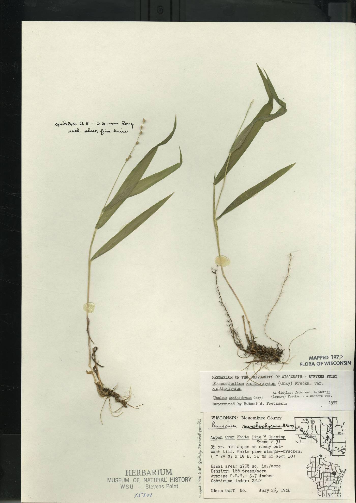 Dichanthelium xanthophysum image