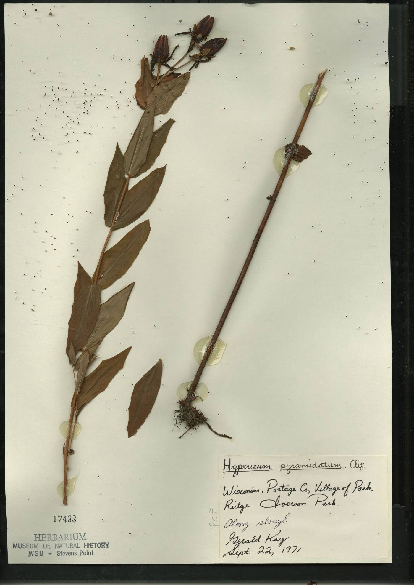 Hypericum ascyron image