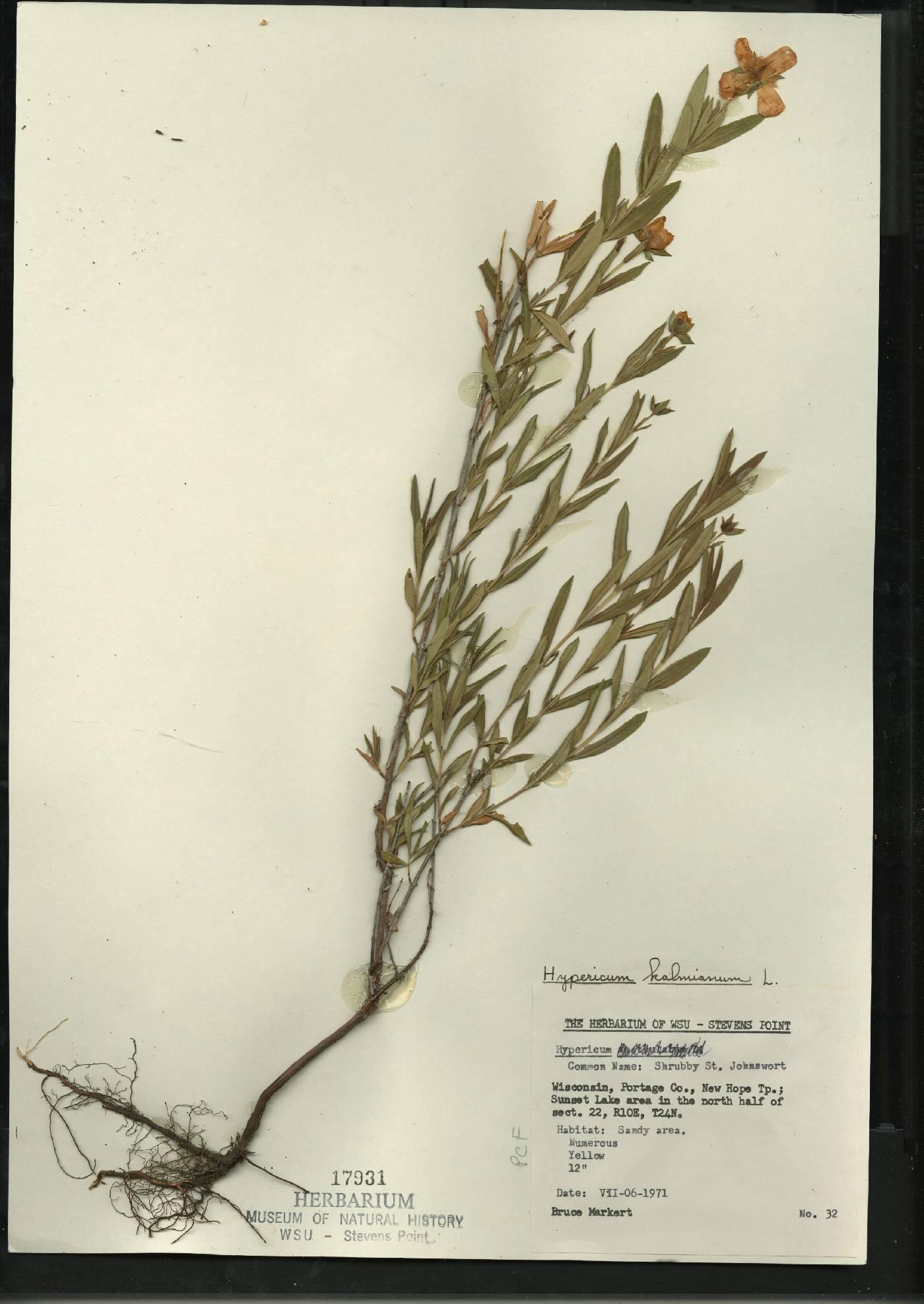 Hypericum kalmianum image