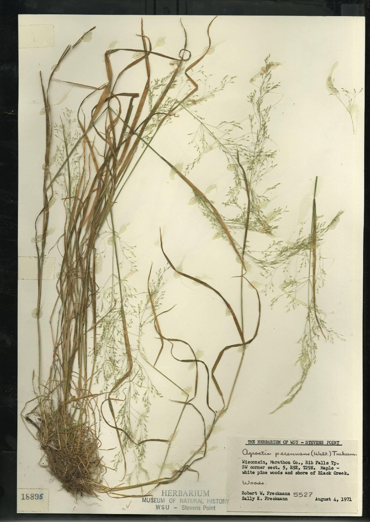 Agrostis perennans var. perennans image