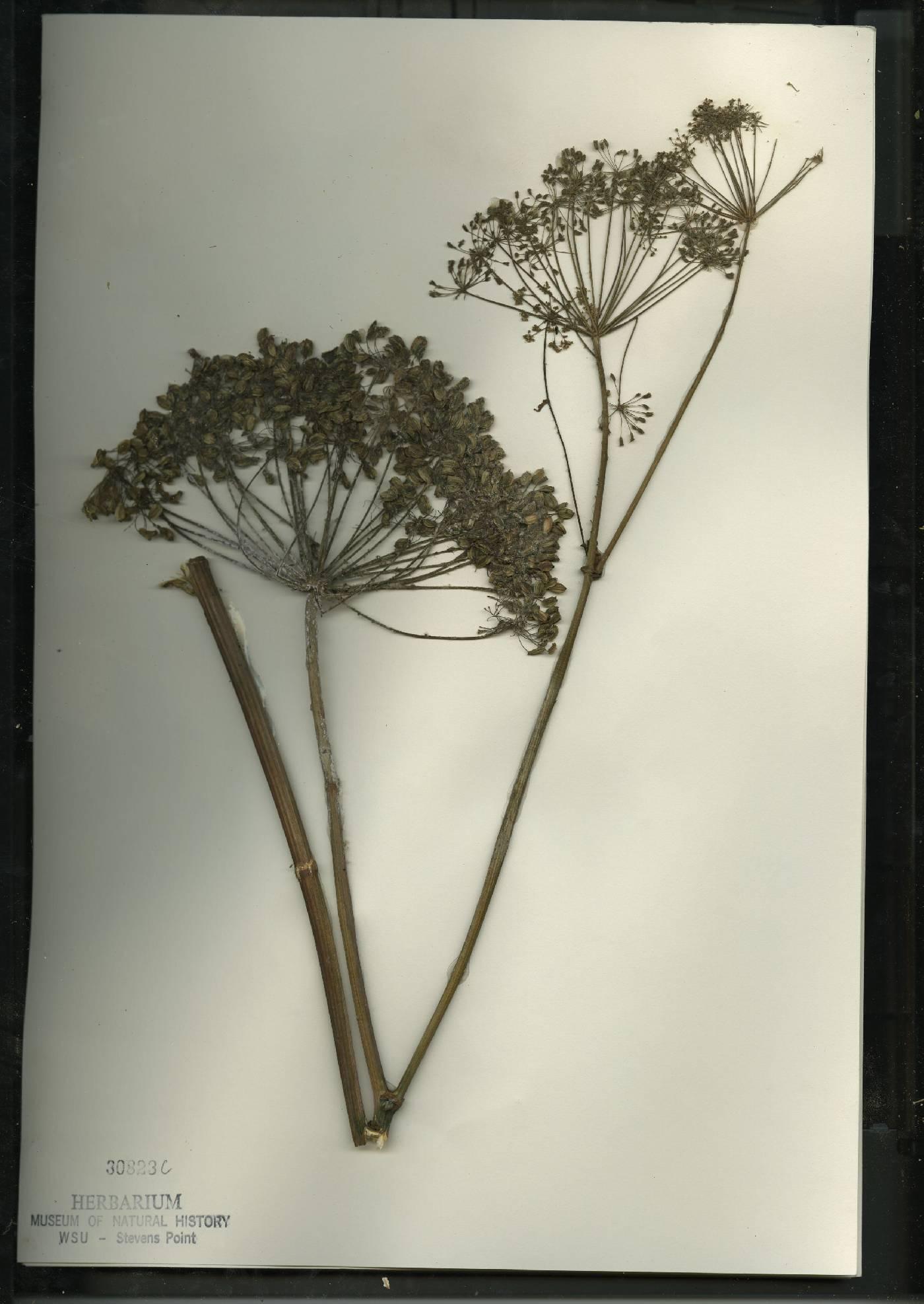 Angelica atropurpurea image