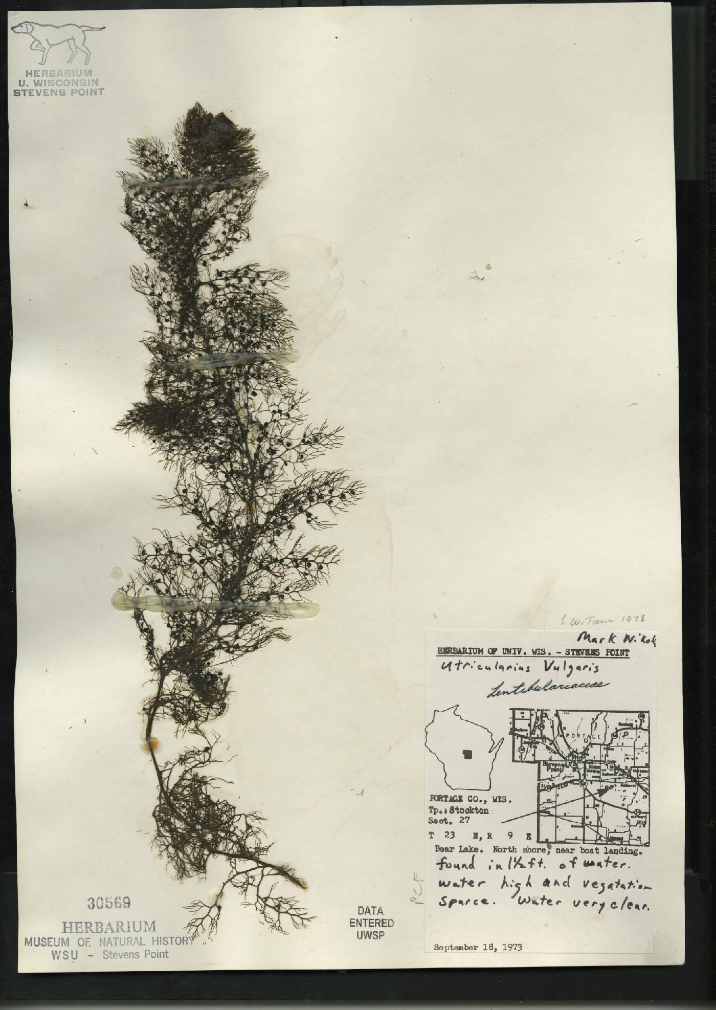 Utricularia vulgaris image