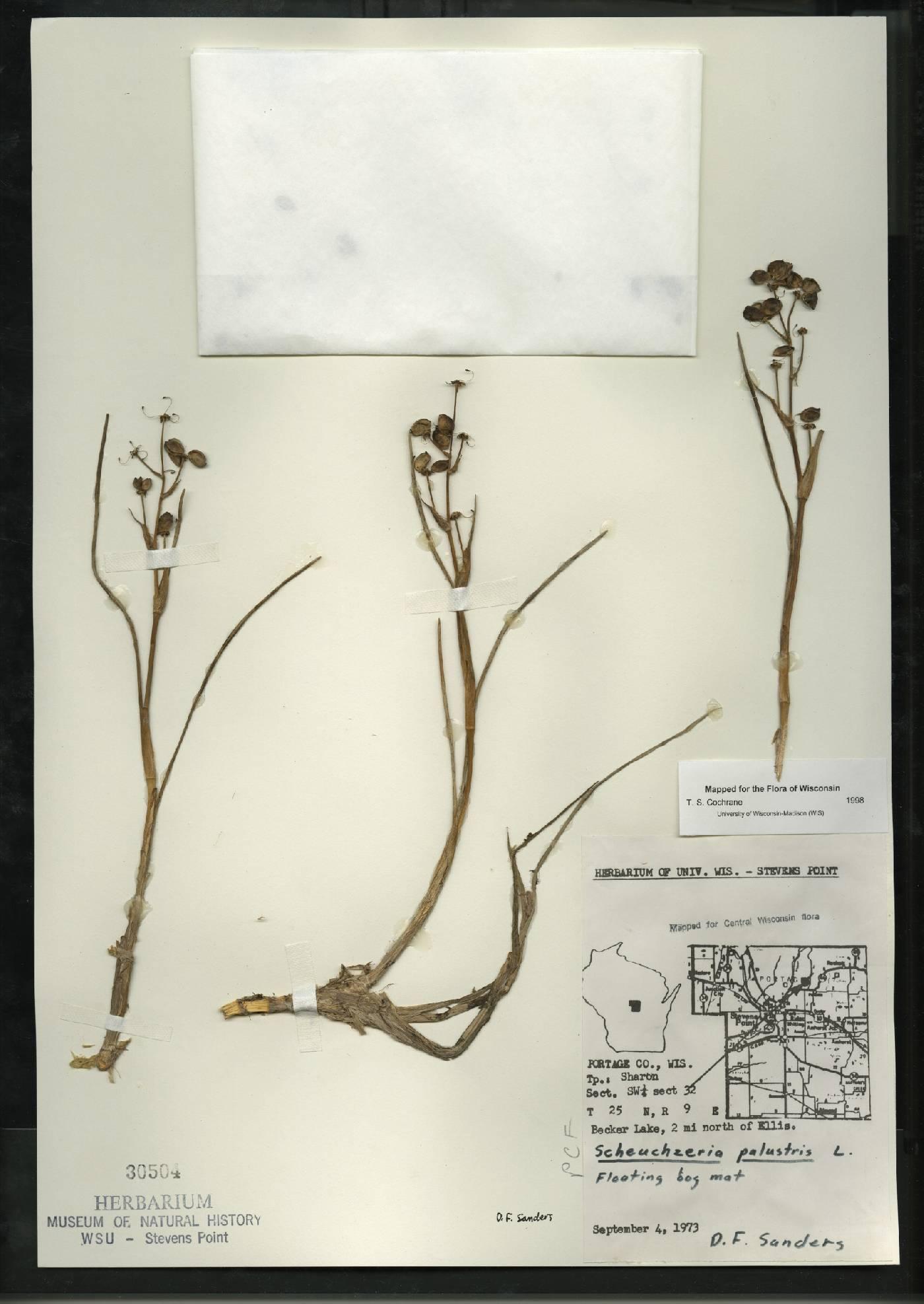 Scheuchzeria palustris image