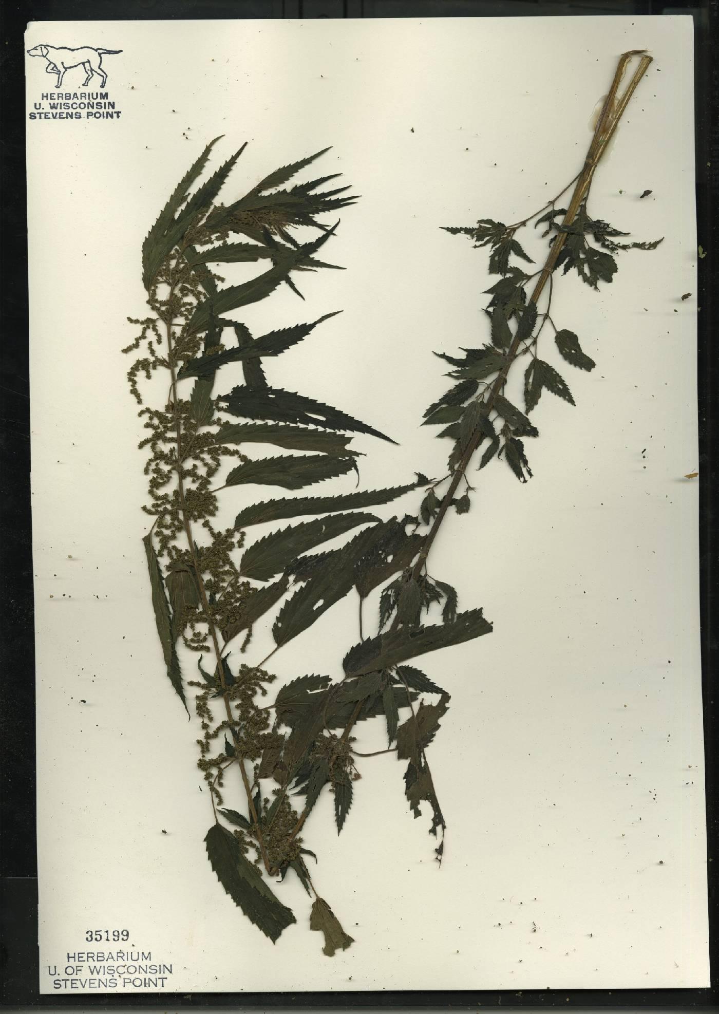 Urtica dioica subsp. gracilis image