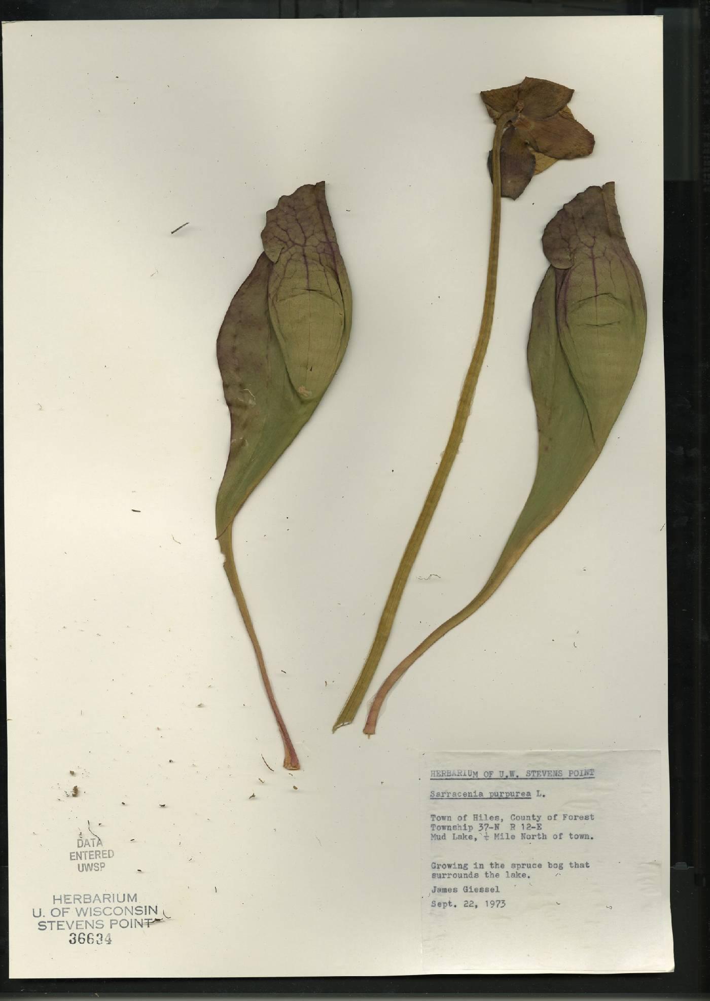 Sarracenia purpurea subsp. purpurea image