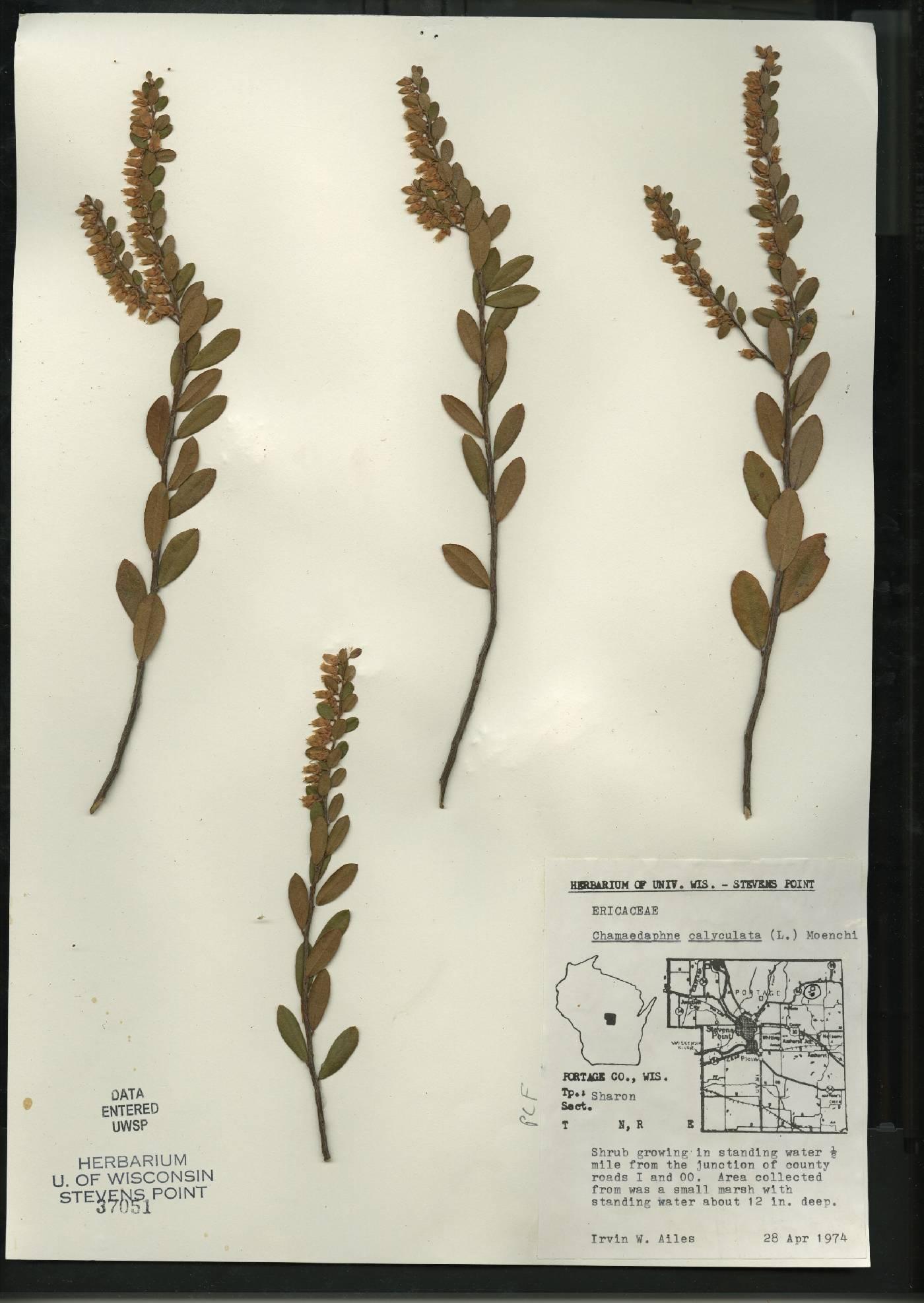 Chamaedaphne calyculata image