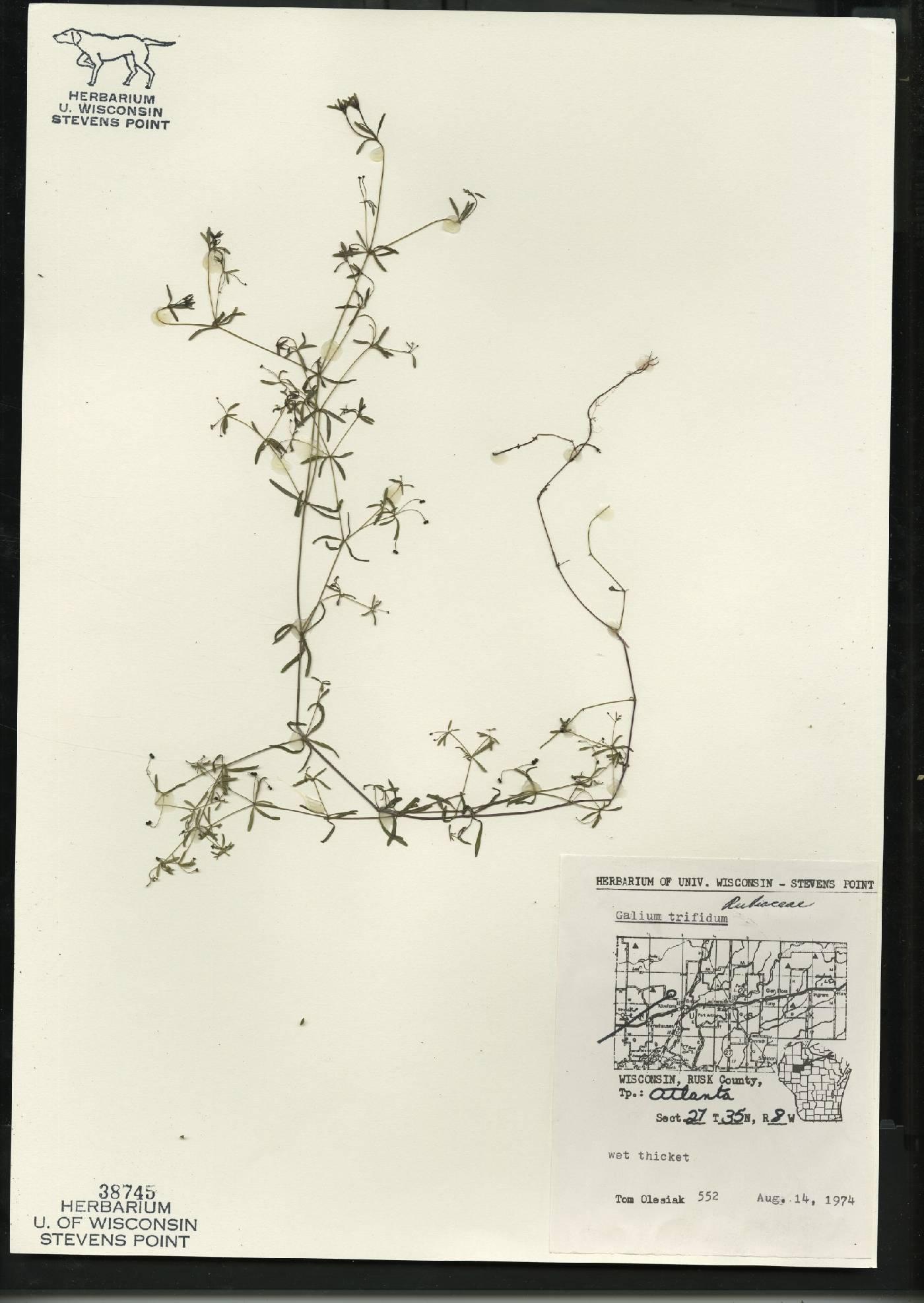 Galium trifidum subsp. trifidum image