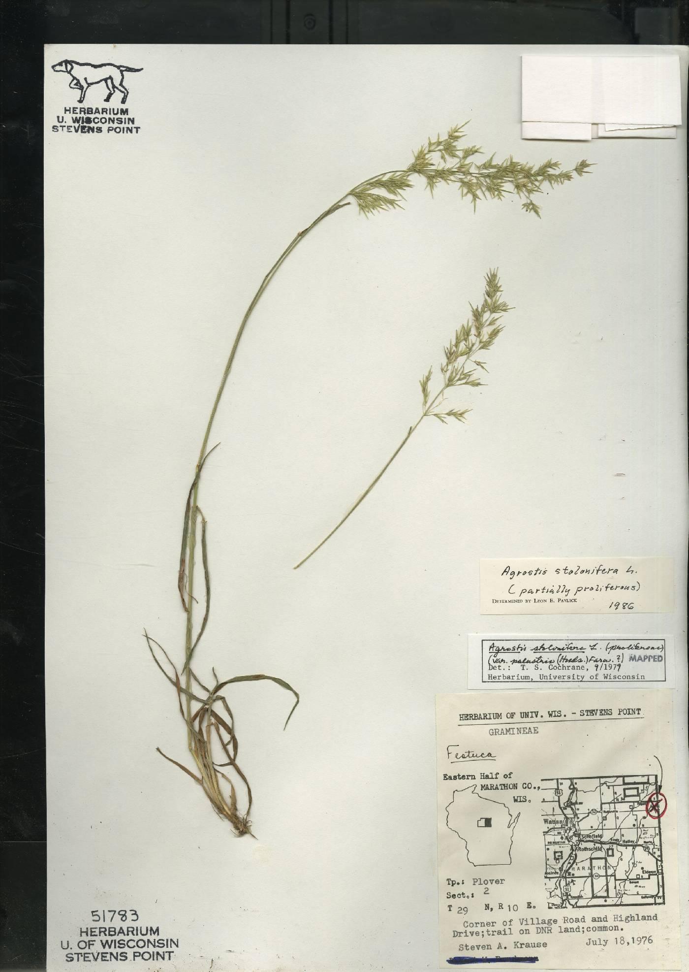 Agrostis stolonifera image