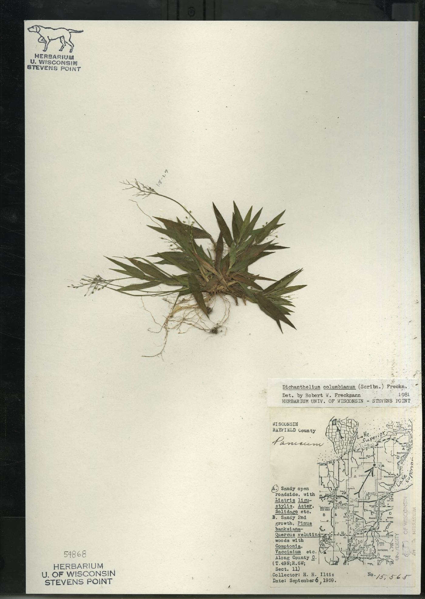 Dichanthelium columbianum image