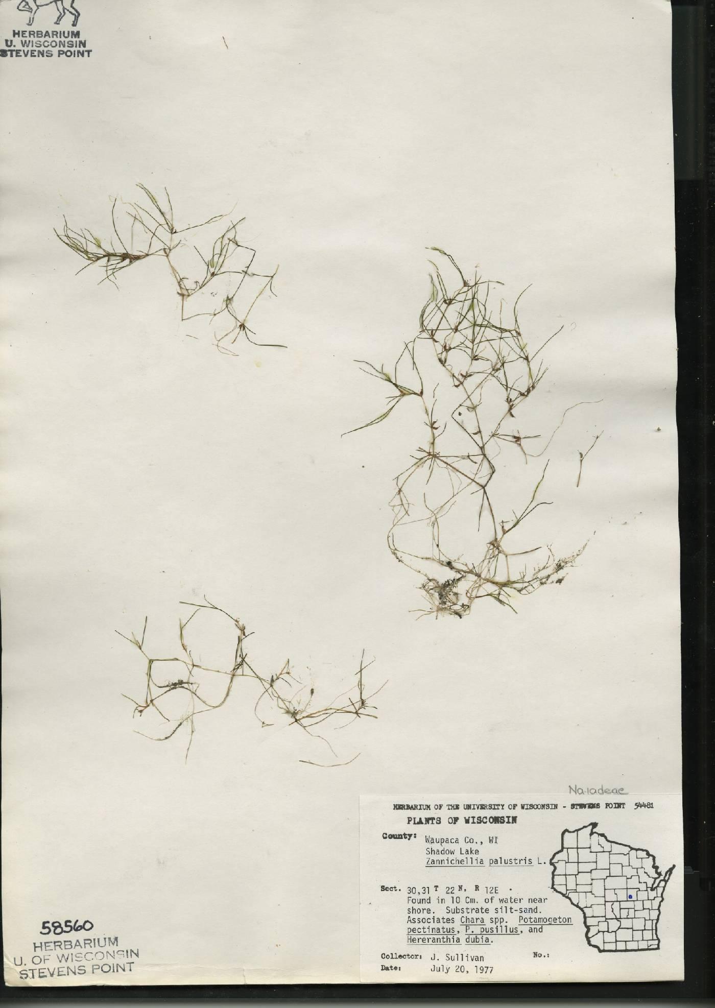 Zannichellia palustris image