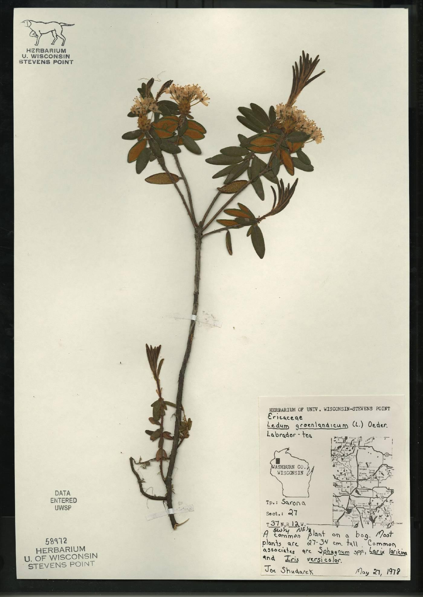 Rhododendron groenlandicum image