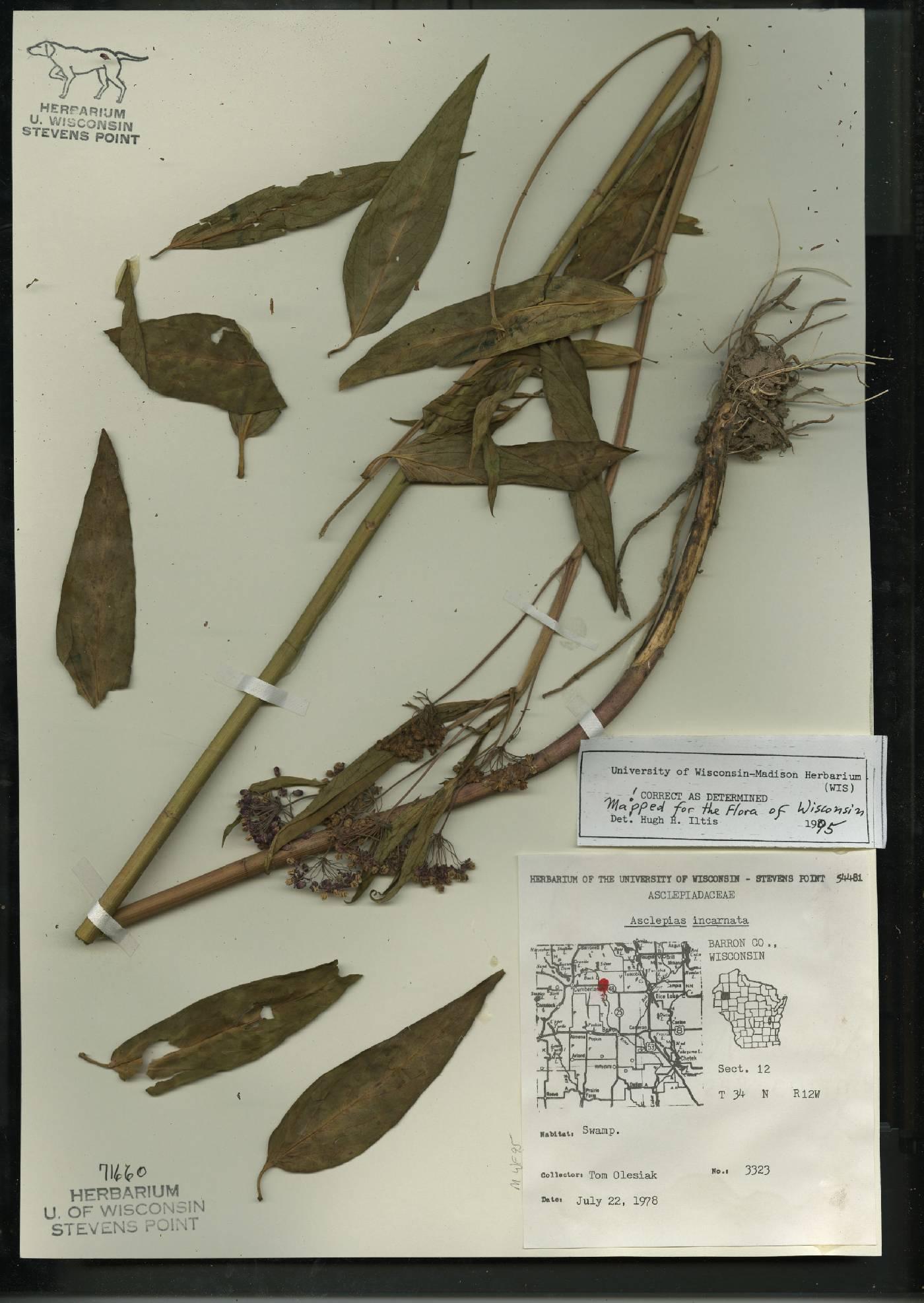 Asclepias incarnata subsp. incarnata image