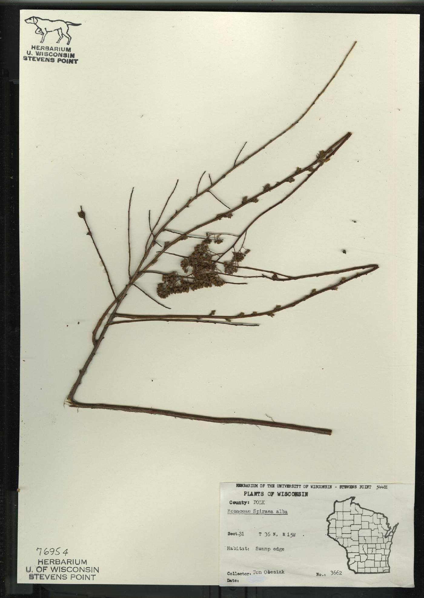 Spiraea alba var. alba image