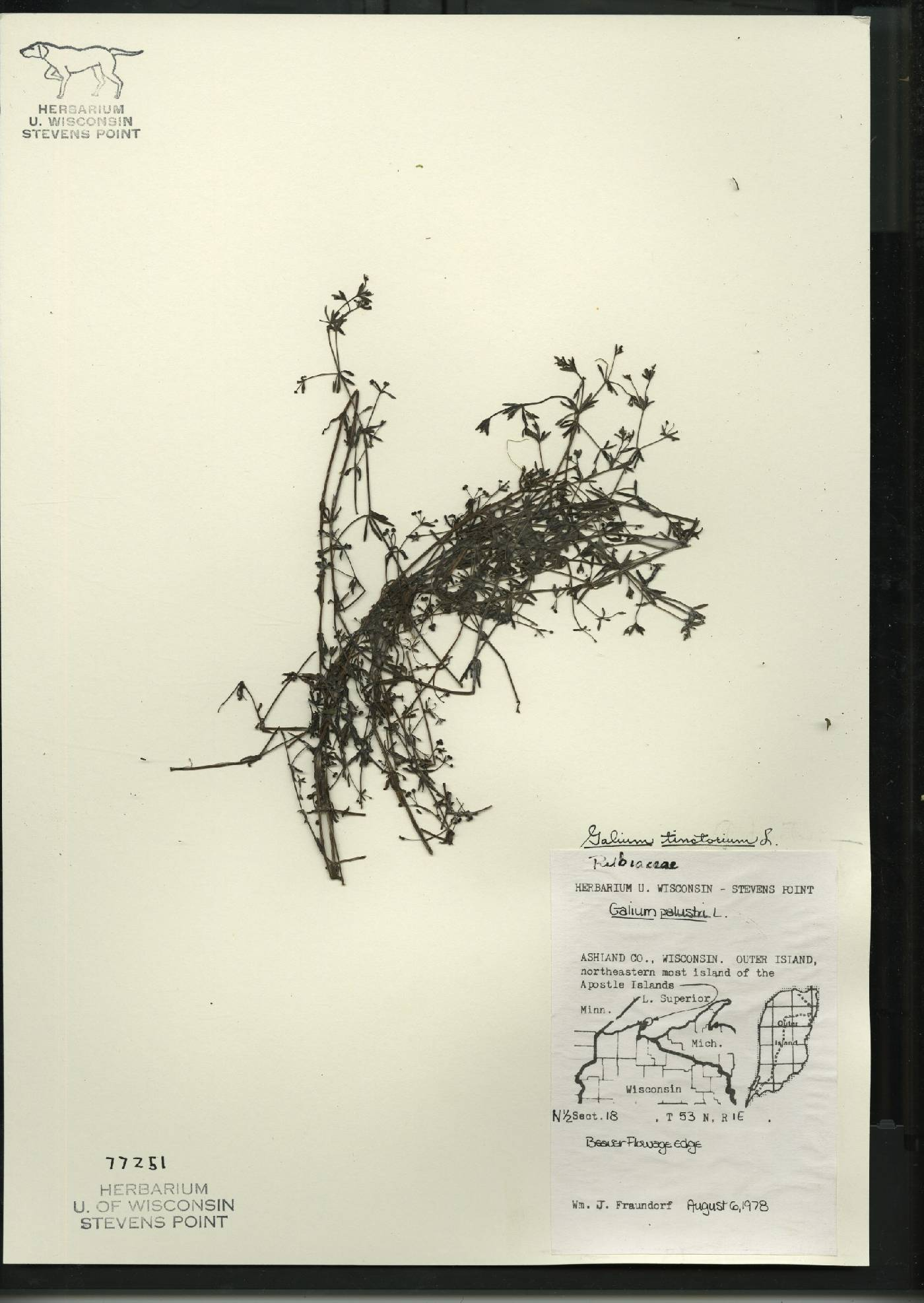 Galium tinctorium image
