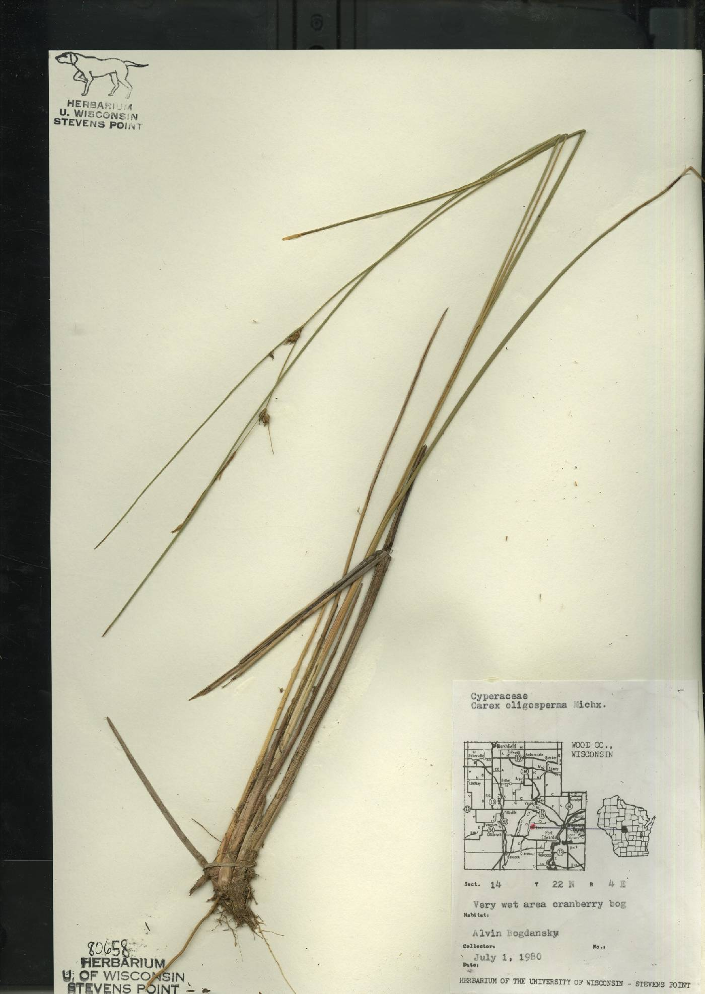 Carex oligosperma image