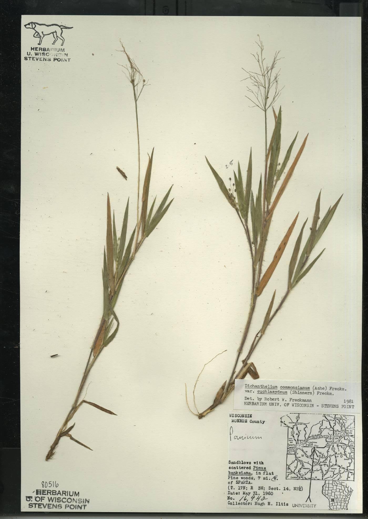 Dichanthelium commonsianum var. euchlamydeum image