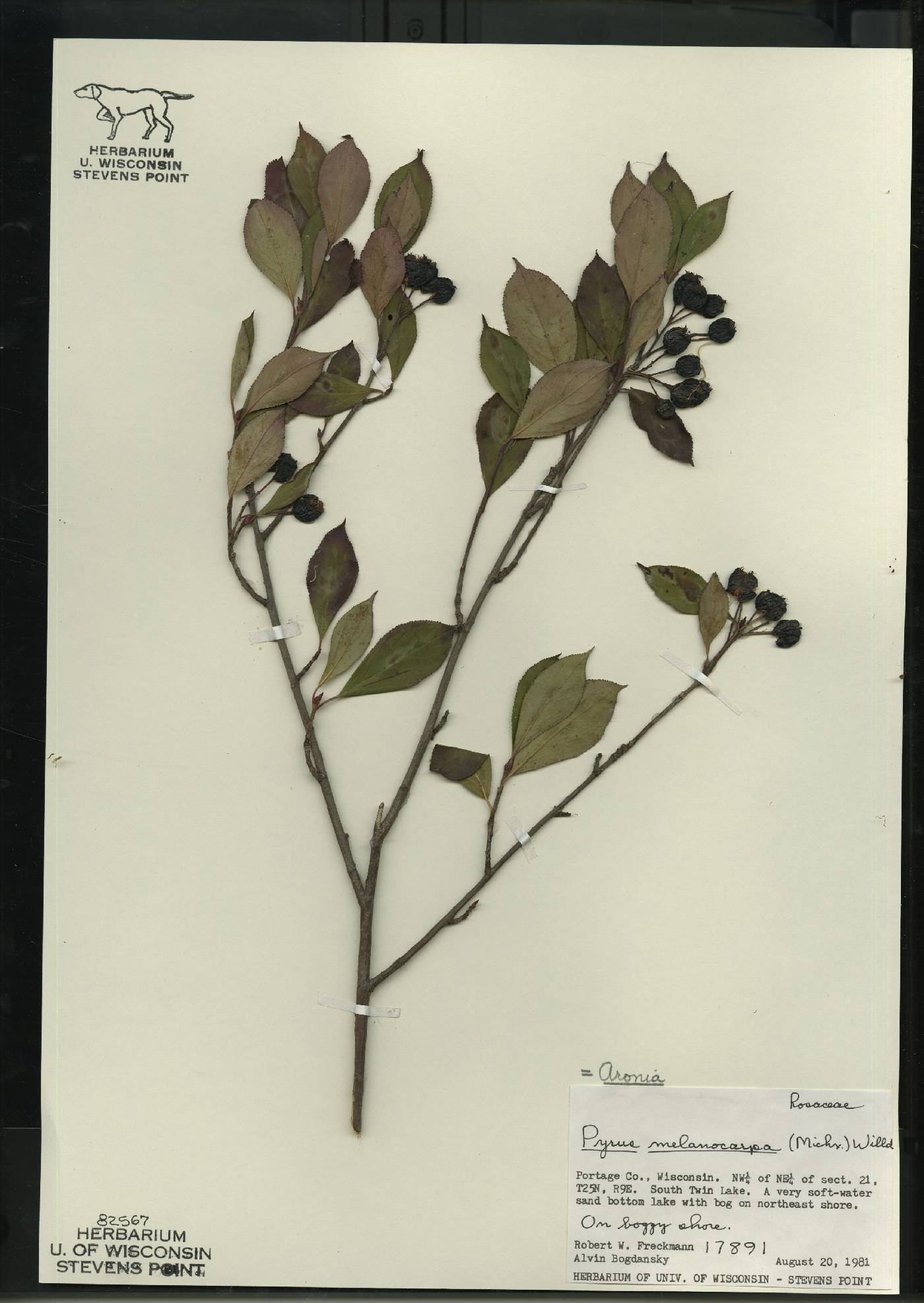 Aronia melanocarpa image
