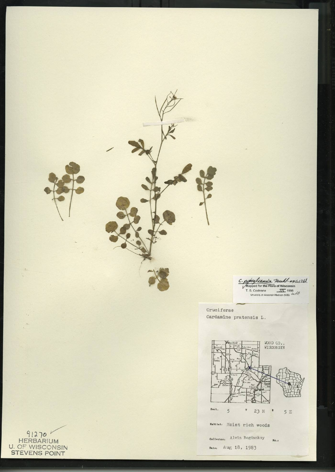 Cardamine pratensis var. palustris image