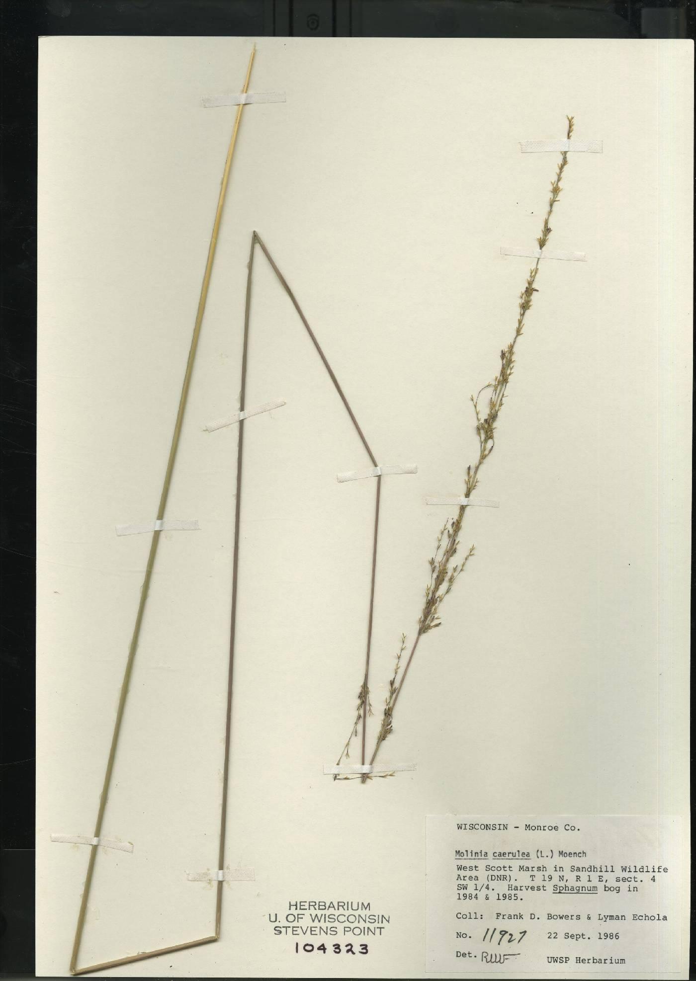 Molinia caerulea image