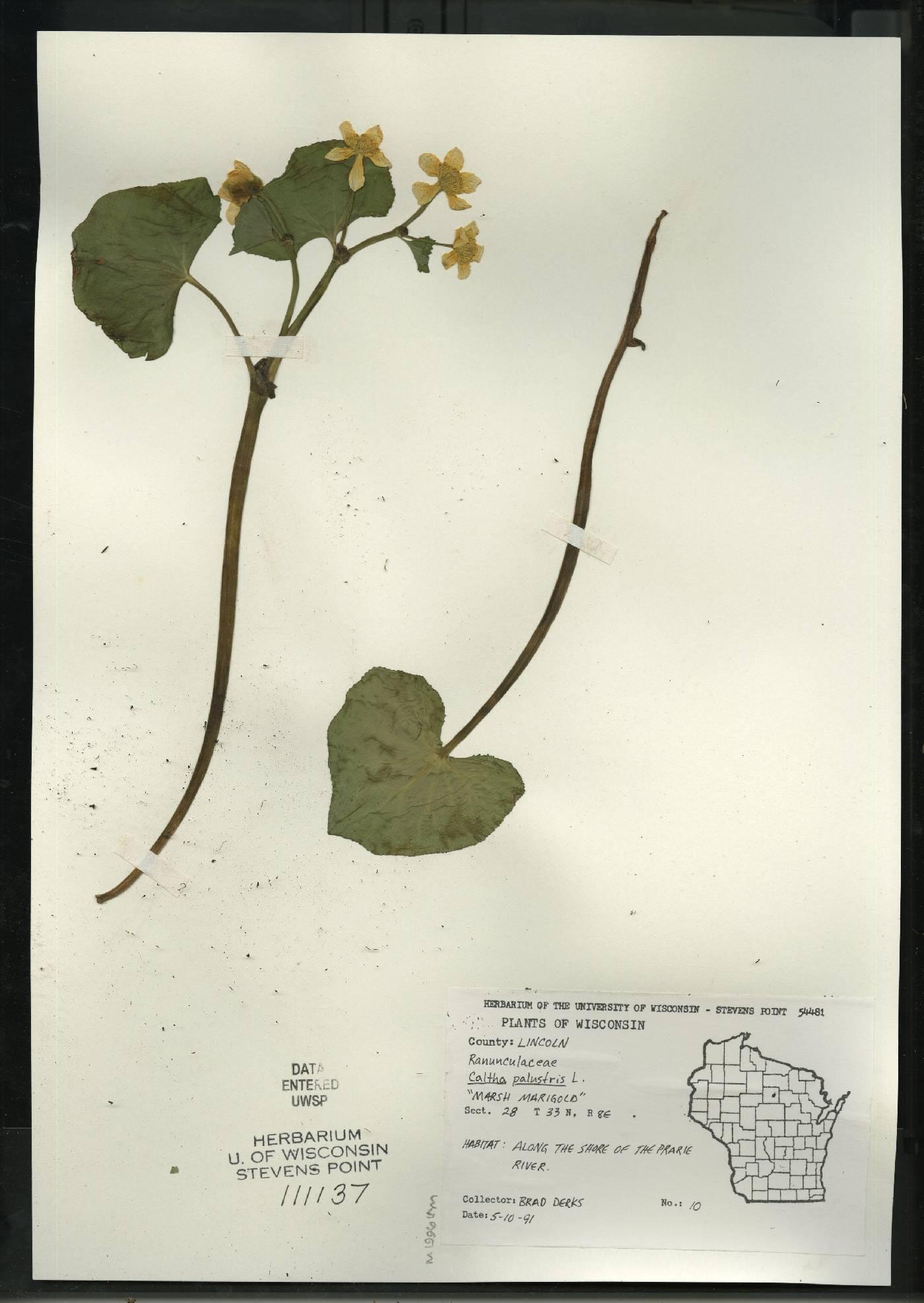 Caltha palustris image