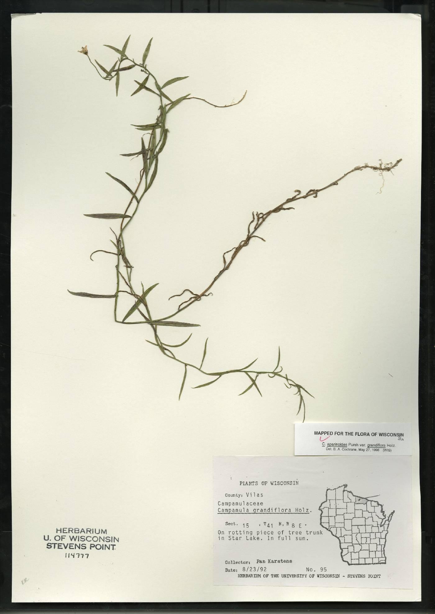 Campanula aparinoides var. grandiflora image