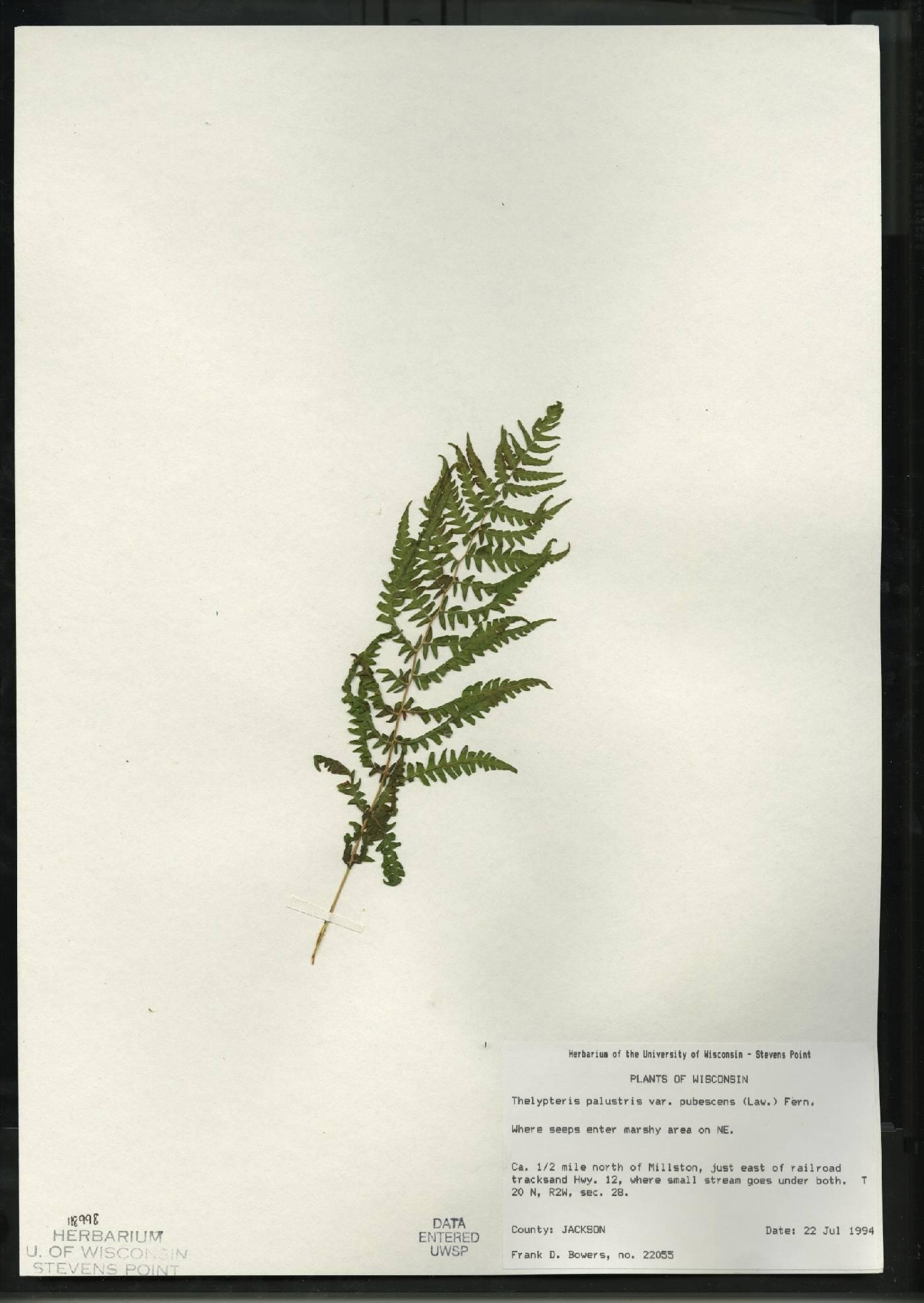 Thelypteris palustris var. pubescens image