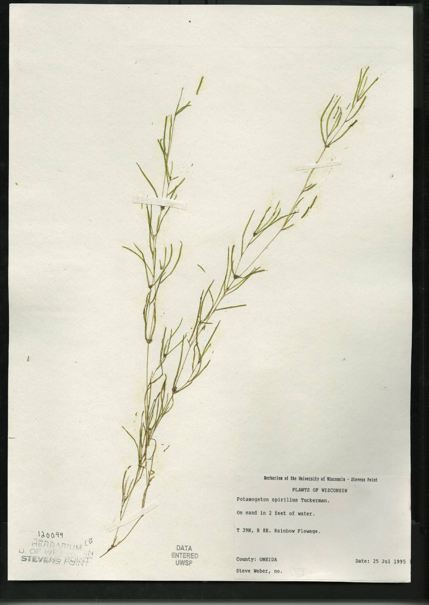 Potamogeton spirillus image
