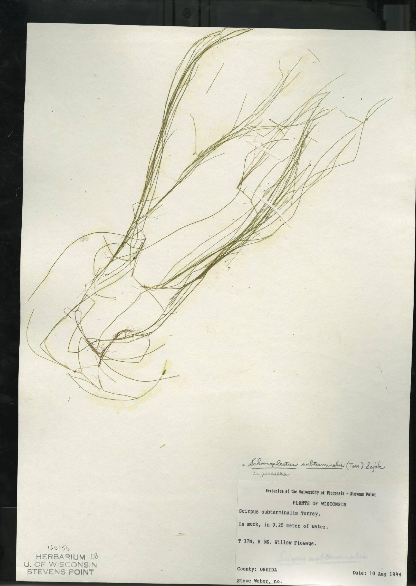Schoenoplectus subterminalis image