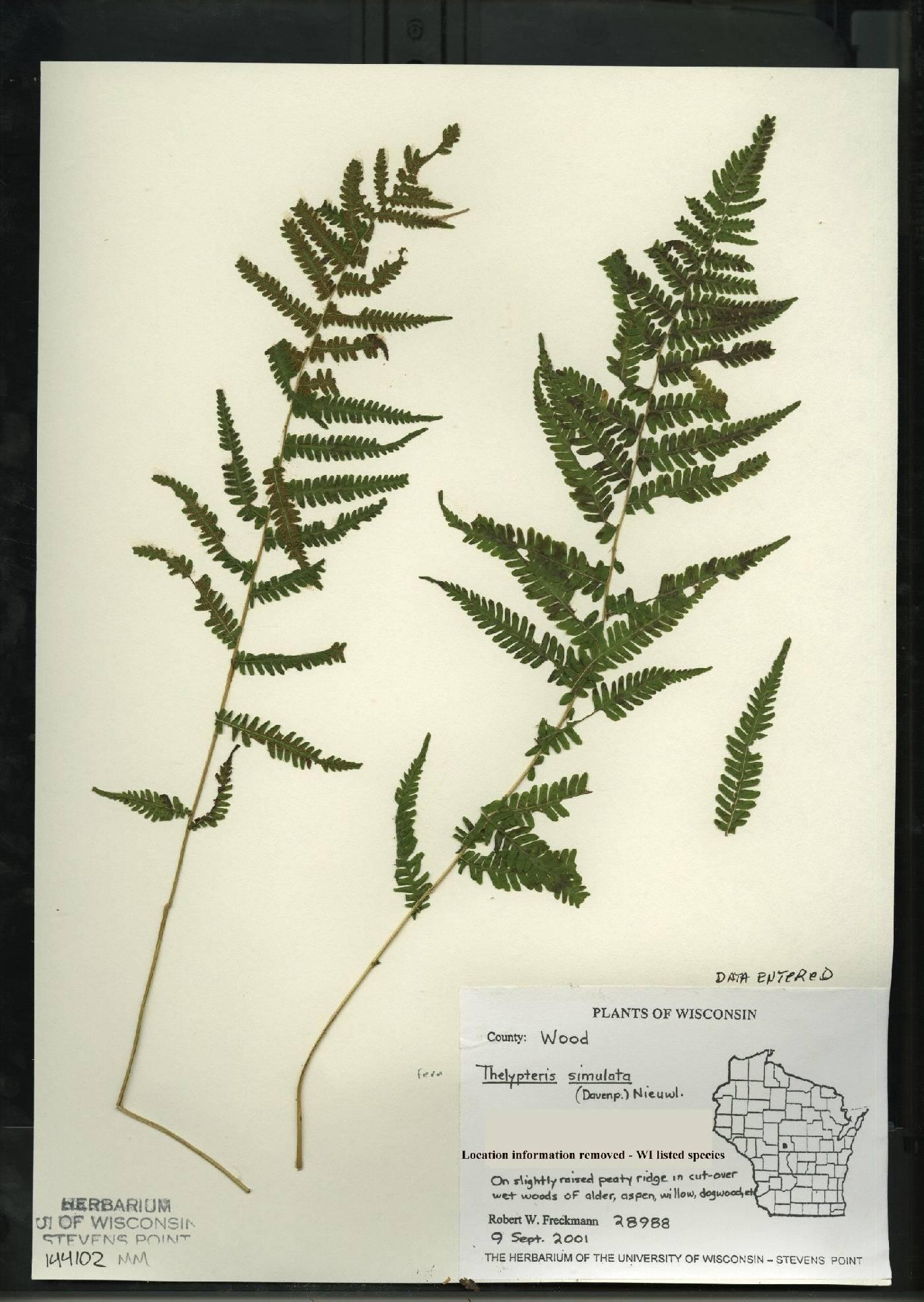 Thelypteris simulata image