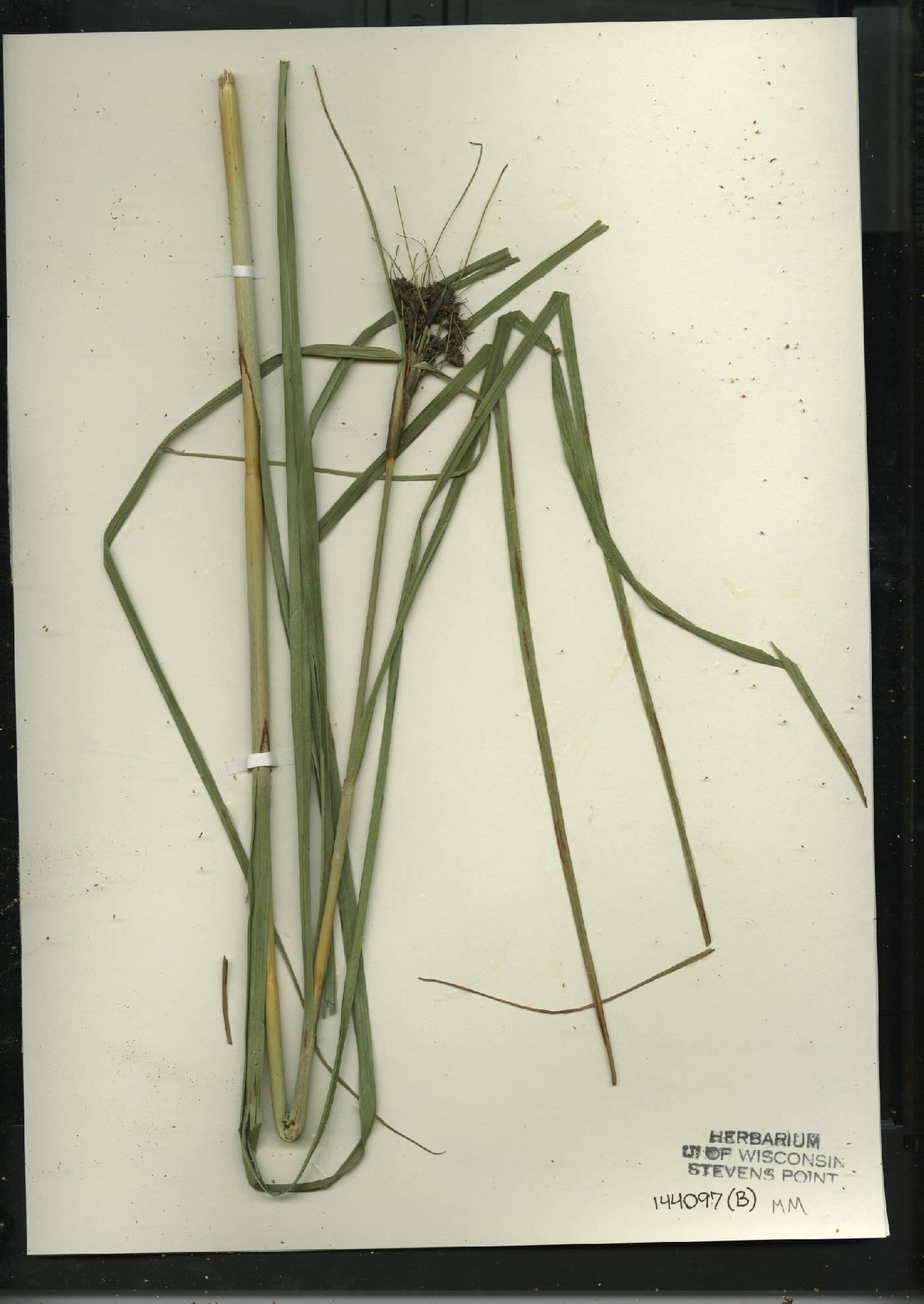 Scirpus cyperinus image