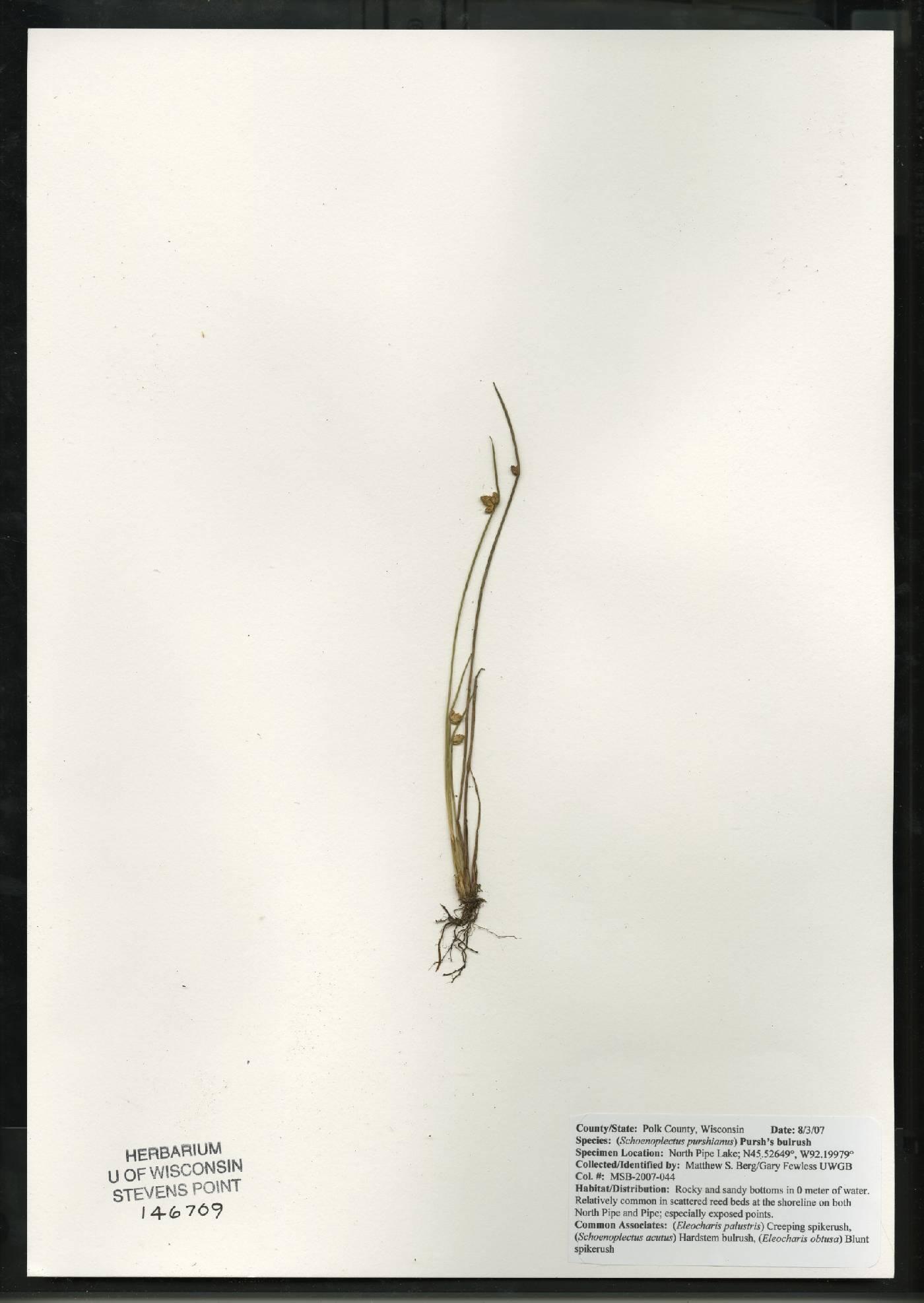 Schoenoplectus purshianus image
