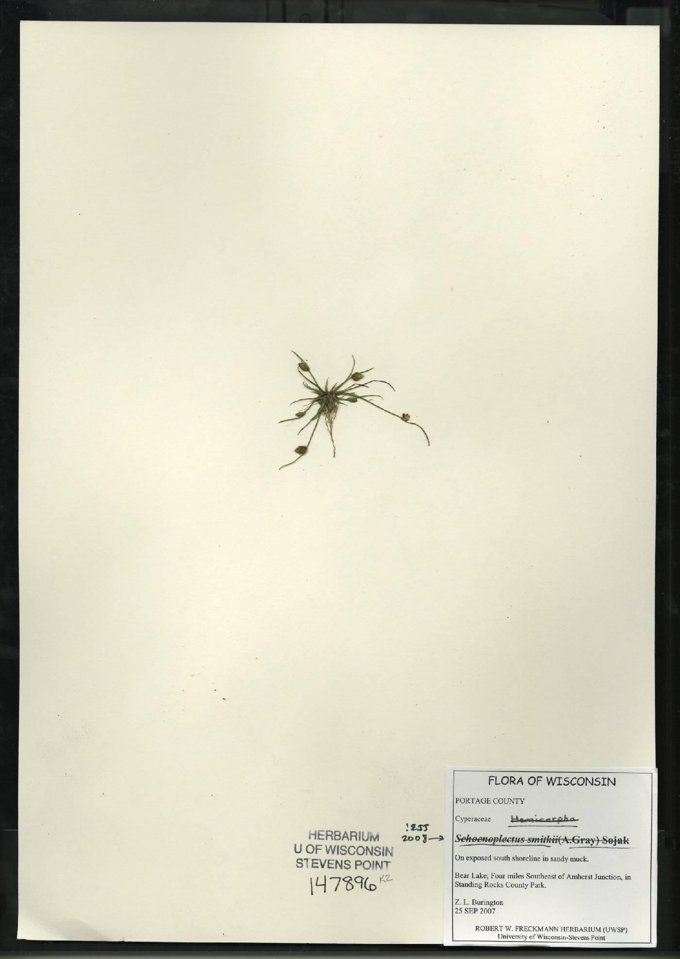 Schoenoplectus smithii image