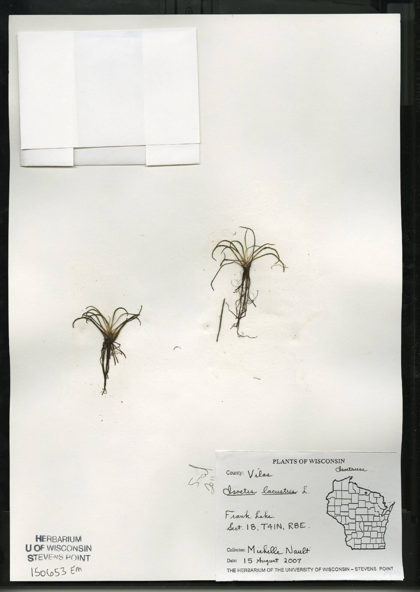 Isoëtes lacustris image