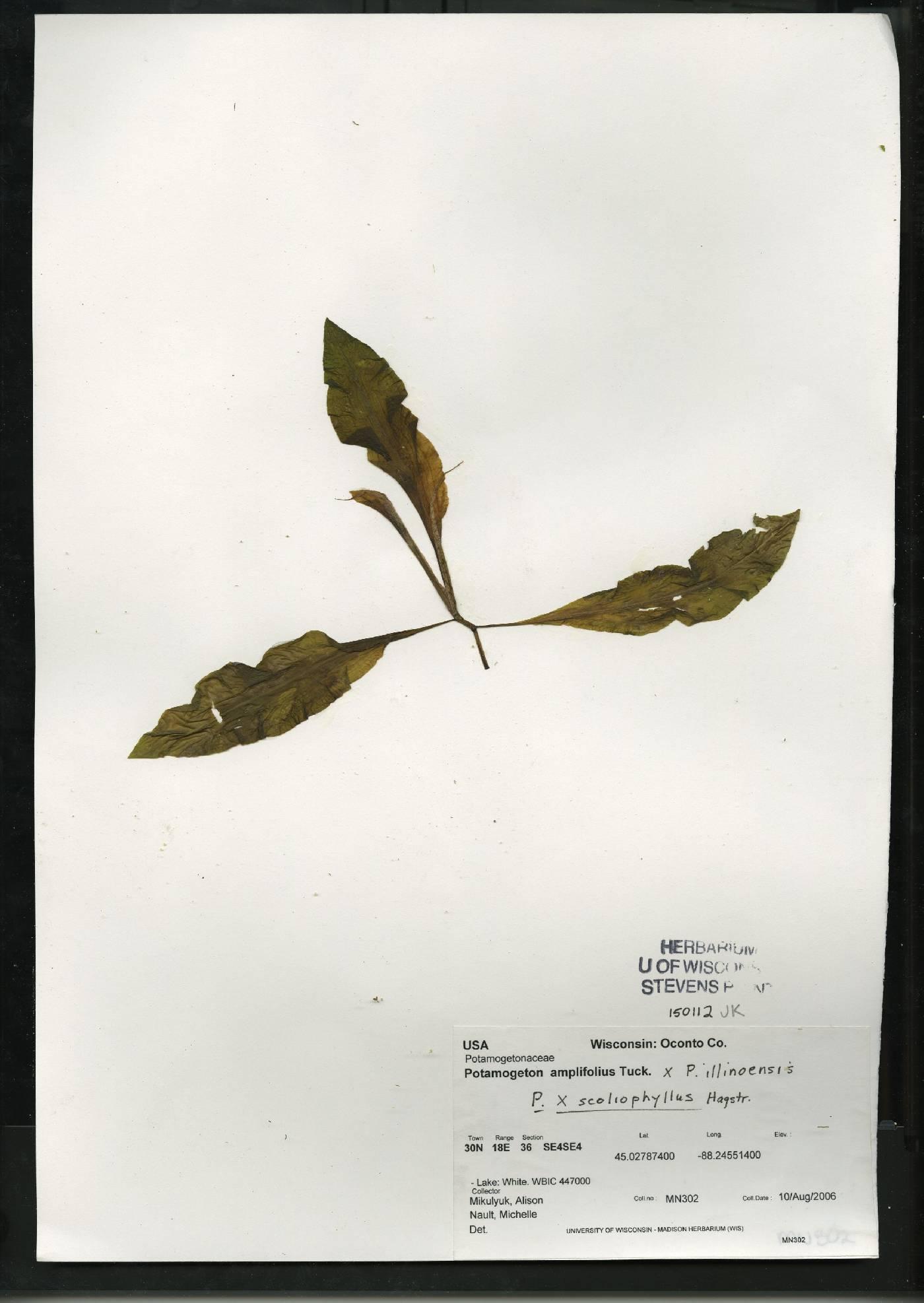 Potamogeton x scoliophyllus image