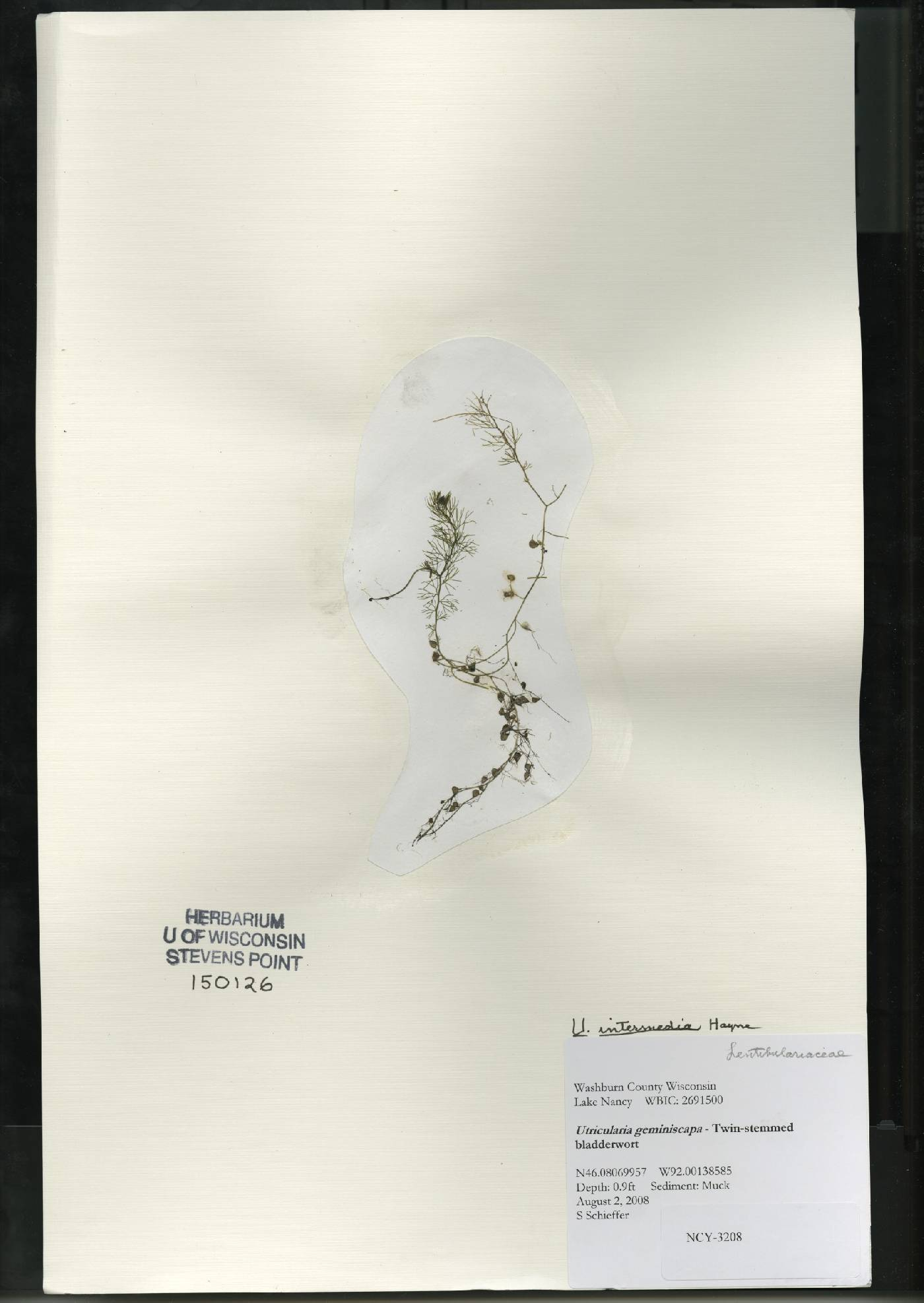 Utricularia intermedia image