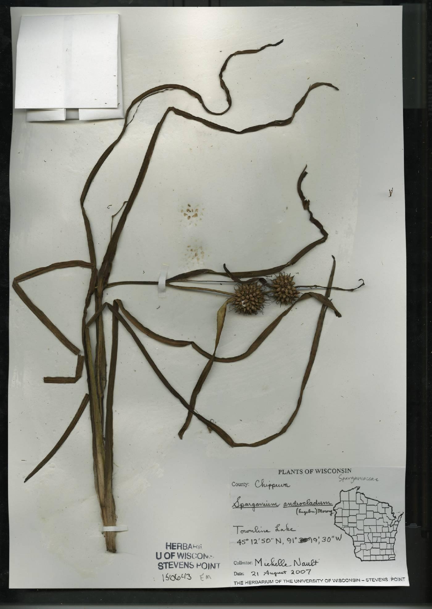 Sparganium androcladum image