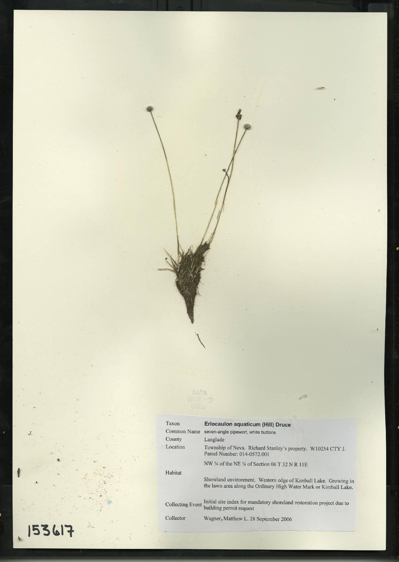 Eriocaulon aquaticum image