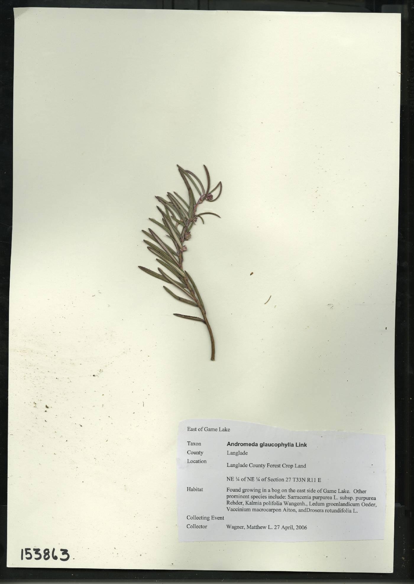 Andromeda polifolia var. latifolia image