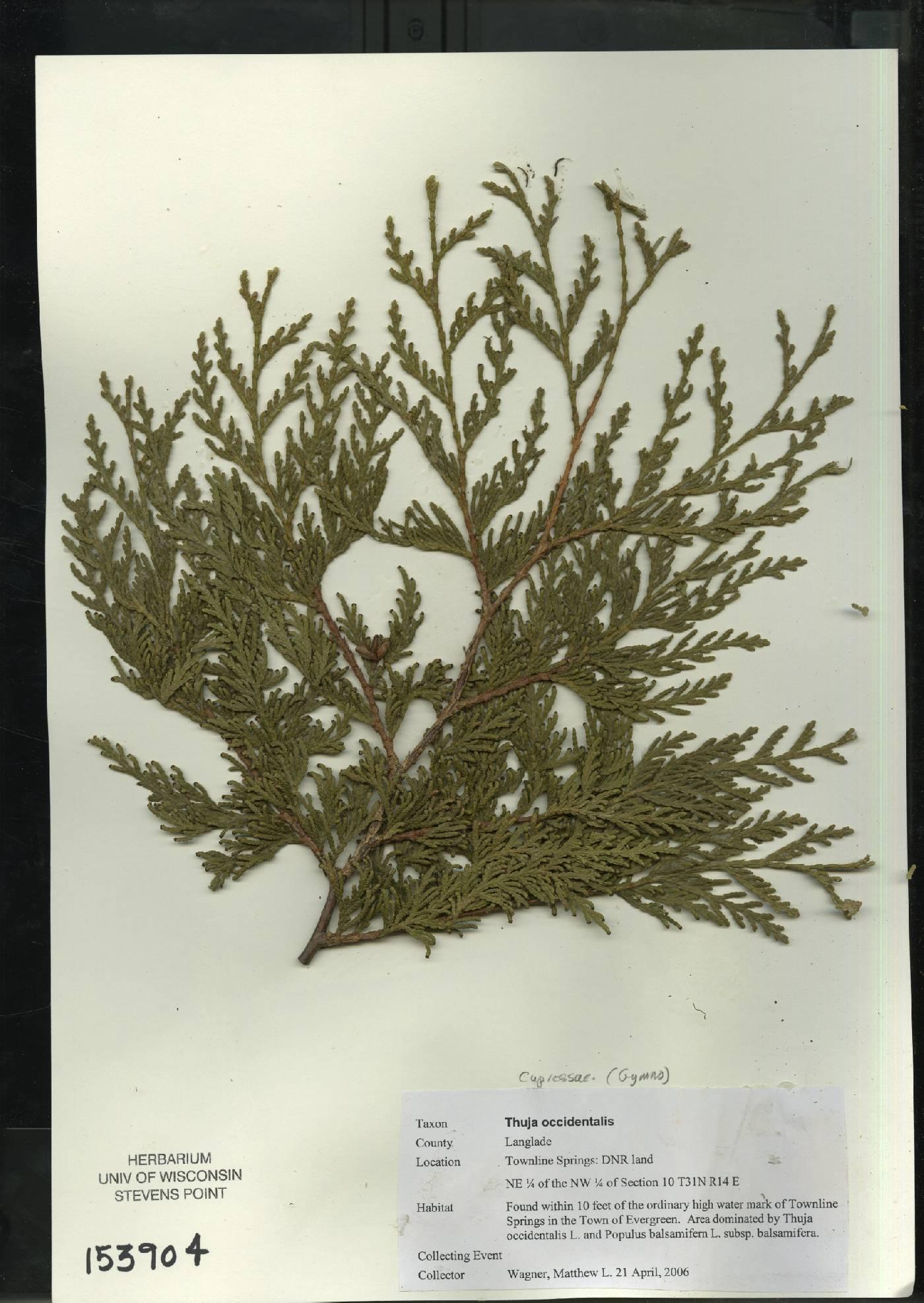 Thuja occidentalis image