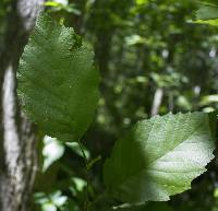 Image of Alnus incana