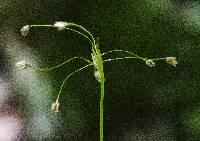 Image of Luzula acuminata