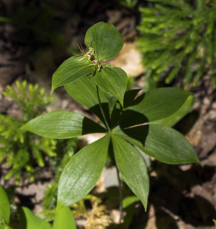 Medeola image